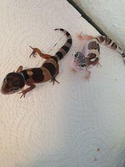 leopardgeckos nachwuchs noch 3 tiere