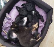 Spitz - Chihuahua - Welpen suchen ein