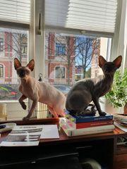 2 Reinrassige Canadian Sphynx Kitten