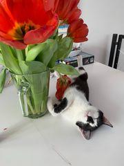Millie 1 Jahr alte Hauskatze
