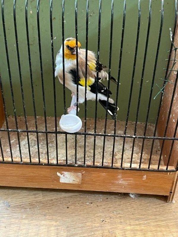 Vögel Stieglitz