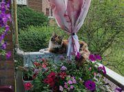 Bildhübsches Kitten Tricolor vom 13