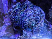 Meerwasser Korallen LPS SPS Steinkorallen
