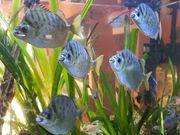 Silberargusfische