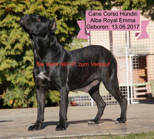 Cane Corso for V I