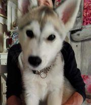 Ein reinrassiger Sibirien Husky Rüde