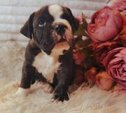 Old english Bulldog welpe