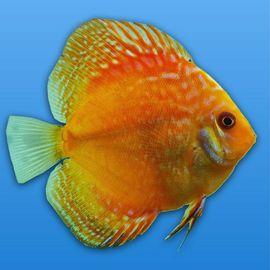 Bild 4 - Wunderschöne Stendker Diskusfische - Wendisch Evern