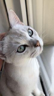 Deckkater Bkh mit blauen Augen