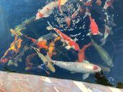 40 Koi Teich Fische abzugeben