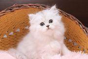 BLH Kitten Mädel mit Stammbaum