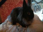 Traumhaft schöne Lowenkopf Kaninchen Babys