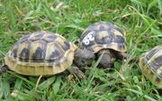 Griechische Landschildkröten von 2020