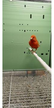 Kanarienvogel in Rot A Hahn