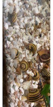 Aquariumschnecken abzugeben