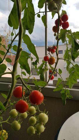Bild 4 - Set3 Tomate Matina Inhalt 15 - Lauterach
