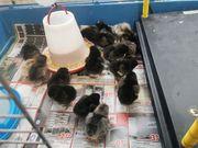 Küken Hühner