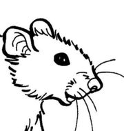 Ratten auf Eis