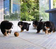Berner Sennenhund Welpen abgabebereit