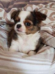 Mops Chihuahua Welpen