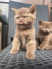BKH Reinrassige kitten Noch drei