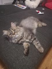 Perser maine coon mix