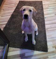 Labrador Hündin