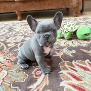Supersüßen Französische bulldogge welpen