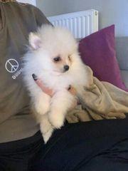 Pomeranian Zwergspitz Welpen Mini in