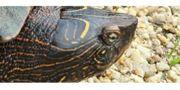 weibliche Falsche Landkarten-Höckerschildkröte