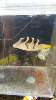 meerwasser kugelfisch