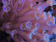 Koralle Goniopora Alveopora LPS NUR