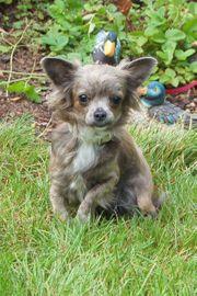 Kirina 1 Jahr - Chihuahua - Tierhilfe