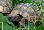 Dalmatinische Landschildkröten
