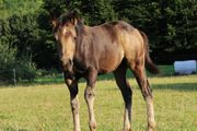 Schicke Quarter Horse Stute