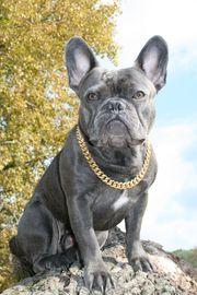 Deckrüde Französische Bulldogge blau