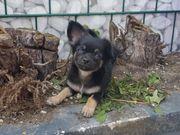 LH Chihuahua Welpe Rüde
