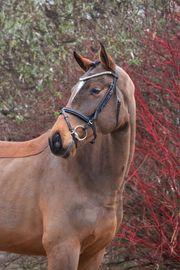 leicht auszubildendes Nachwuchs Pferd aus