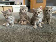 BKH Kitten reinrassig auszugsbereit