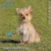 Verschmuste Yorkshire Terrier Mix Welpen