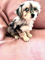 Super niedliche Yorkshire Terrier- Chihuahua