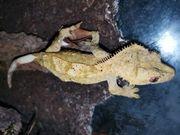 kronengecko Weibchen zu verkaufen
