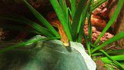 Kornnatter inkl Terrarium