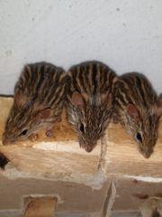 Afrikanische Vielstreifengrasmäuse
