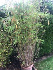 Bambus Höhe ca 2 5m