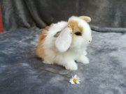 Tolle Original Mini Lop Kaninchen