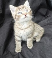 Verschmuste BKH MIX Kitten Katzenbabys