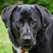 Meischa 1 Jahr - Labrador-Neufundländer-Mix - Tierhilfe