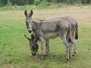Brave Eselhengste suchen ein neues