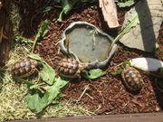 Griechische und Breitrand -Schildkröten zu